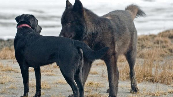 wolf-meets-dog-4