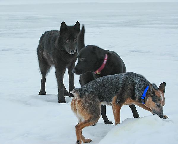 wolf-meets-dog-6